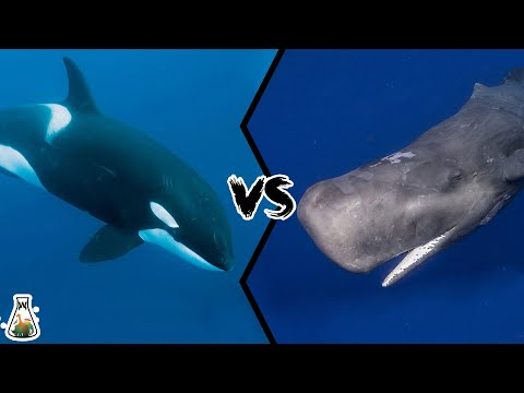 KILLER WHALE VS SPERM WHALE - Who Would Win This Battle Of Titans?