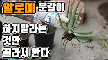 알로에 번식방법, 뿌리나누기 하는방법과 정보 | 나만의 뿌리나누기를 하는 모습