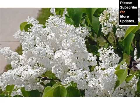 White Lilac Tree Best Of White Folwer Picture Collection