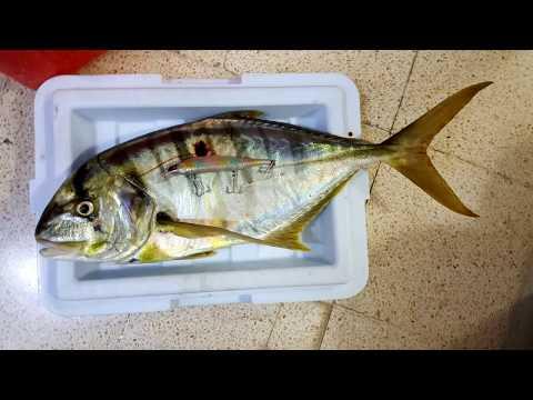 كاستنج سلطنة عمان جفدارة - Trevally offshore casting Oman