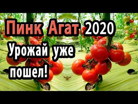 Томат Пинк Агат 2020. Урожай уже пошел!