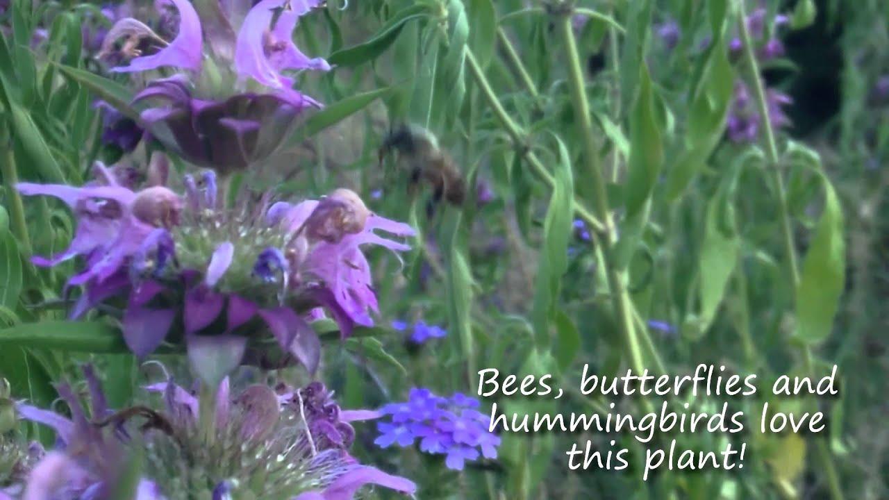 Horsemint Brings Butterflies, Hummingbirds U0026 Bees To Your Garden   Texas  Wildlife Diversity Program