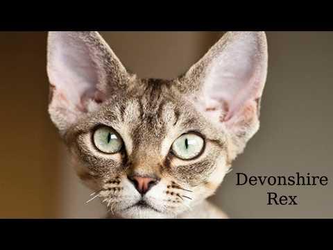 Devonshire Rex: mid-sized, short bodied