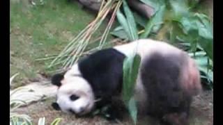 panda in Ocean Park HK