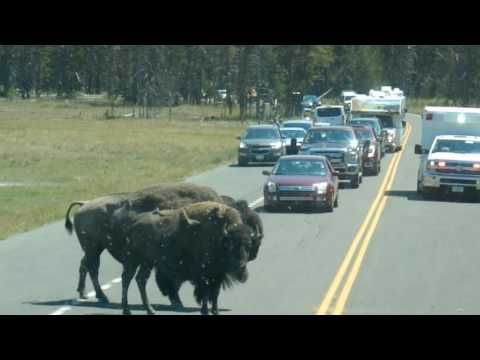 Yellowstone National park - Bison Crossing - Vacation Todd