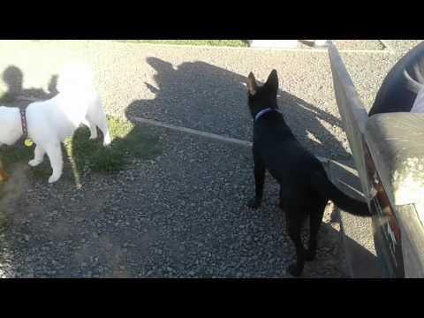 Curious dogs Australian kelpie