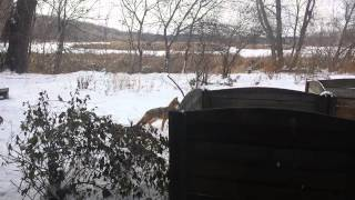 Squirrel V. Coyote Face Off