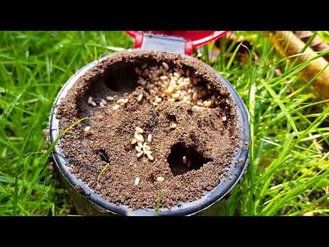 Ameisenbau Evakuierung /