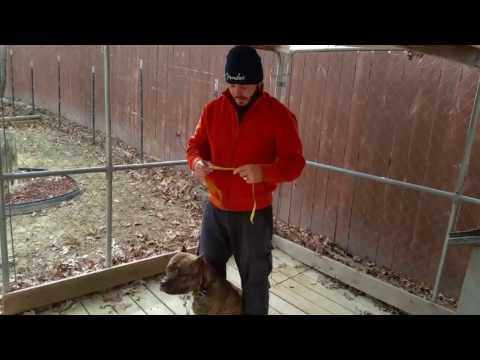 Measuring my pitbull