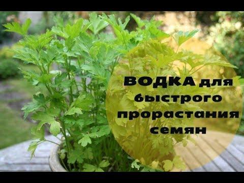 Черемша: полезные свойства и противопоказания, рецепты. К тому же купить семена черемши можно в любом специализированном магазине.
