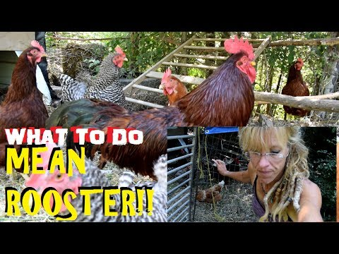 Mean Rooster Attacked Again What To Do Youtube