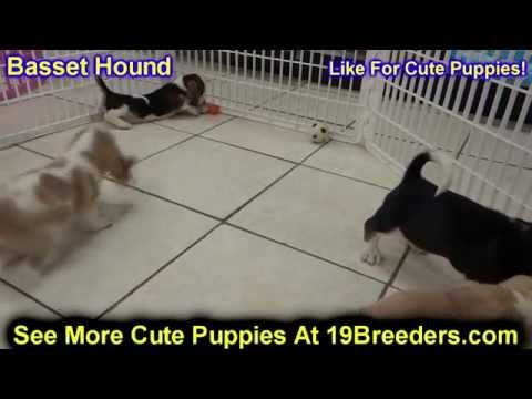 Basset Hound, Puppies, Dogs, For Sale, In New Orleans, Louisiana, LA, 19Breeders, Metairie, Kenner