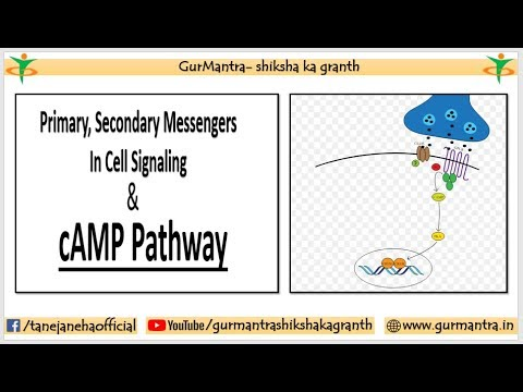 DIFFERENCE BETWEEN PRIMARY & SECONDARY MESSENGERS WITH EXAMPLES | CAMP PATHWAY