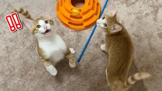 みんなにご飯を用意すると1番に飛びつく新入り猫がこちらw