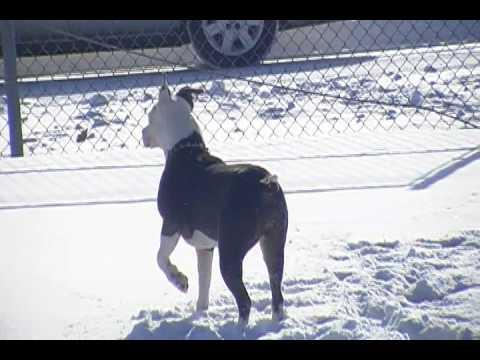 Blue nose pitbull in Buffalo