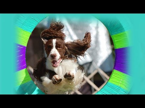 English Springer Spaniel -  Ernest in his first Agility steps
