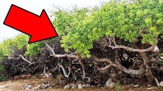 Wenn du diesen Baum jemals siehst, dann renne schnell und rufe nach Hilfe!