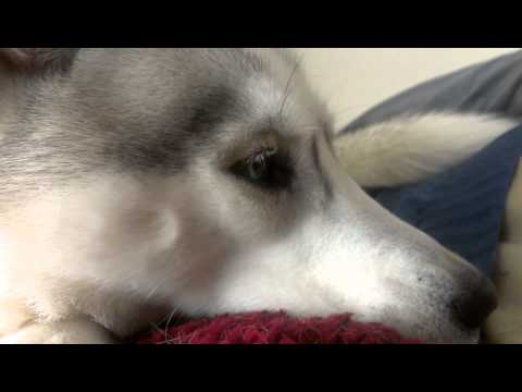 Husky wakes me up like this every morning