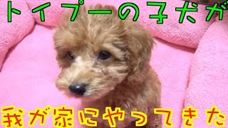 トイプー 子犬 初めての動画に出演です! 名前は【ちょこ】ちゃんです!...