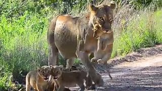 Lioness carrying her cub in her mouth while brother & sisters follow