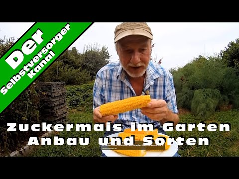 Zuckermais Im Garten Anbau Und Sorten