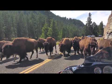 YELLOWSTONE BUFFALO ON MOTORCYCLE EQUALS TENSE MOMENTS AND PRAYERS!