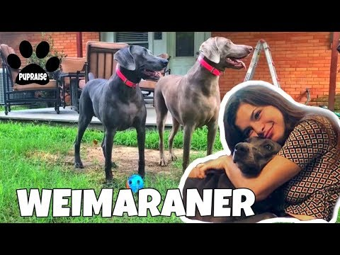 All About Living With WEIMARANERS Dogs 101 - Meet Nola and Austin