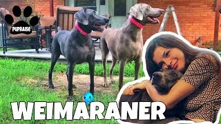 All About Living With WEIMARANERS Dogs 101  Meet Nola and Austin