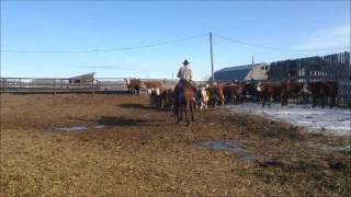 Calgary Bull Sale 2016 - Lot 701 ranch horse