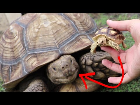 BABY TURTLE MEETS PARENTS (After Months of Separation)