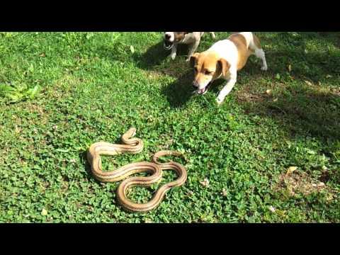 Jack Russell vs snake