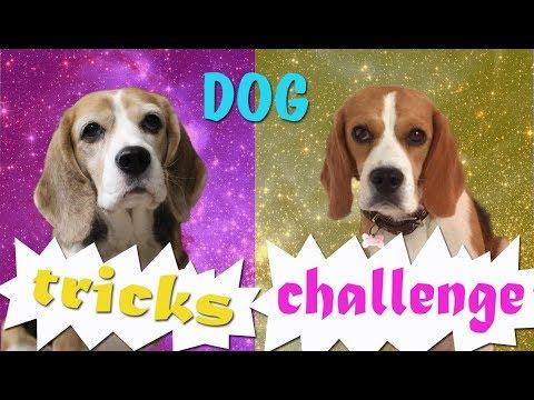 DOG TRICKS CHALLENGE | Бигль Хена и бигль Джина