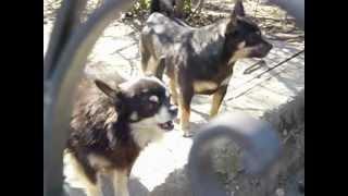 Bouvier Des Flandres,german Spitz,2 Chihuahuas,westie Mix/flandriai Bouvier,német Spitz...
