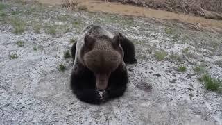 Медведь на трассе, Тюменская область