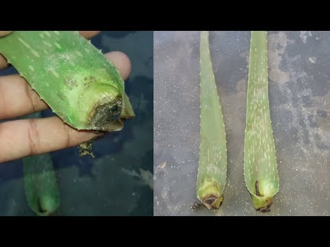 How to Grow Aloe Vera From Leaf | Grow indoors
