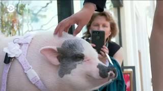 Светская свинья