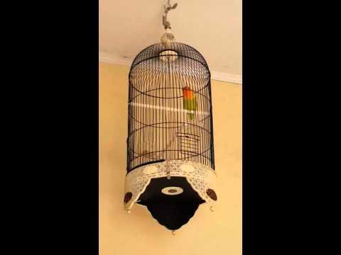 Lovebird  ngekek 1 menit