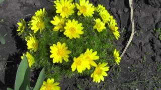 Цветы на даче, весенние цветы: адонис, гиацинт и тюльпаны
