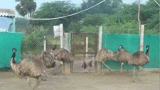 emu farms in tamilnadu ram emu farms 9841983690/43
