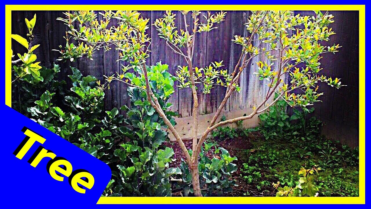 Pomegranate Bush Into Tree Pruning Update Youtube