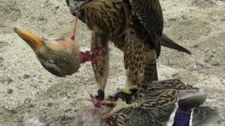 Falcon Decapitates Duck