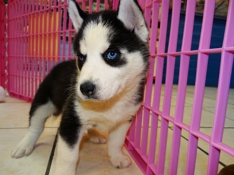 Siberian Husky, Puppies, Dogs, For Sale, In Virginia Beach ...
