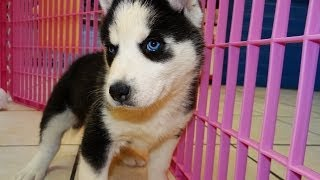 Siberian Husky, Puppies For Sale, In, Richmond, Virginia, West, Va, Newport, County, Alexandria, 19b