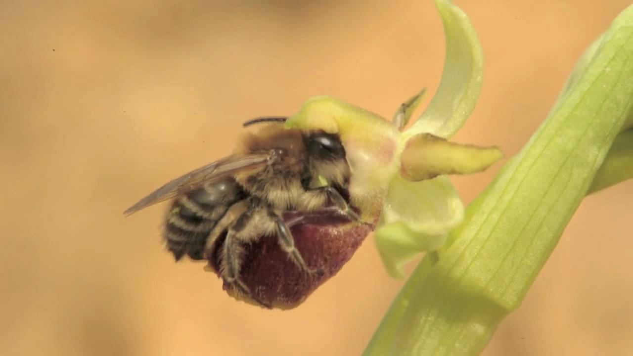 Orchid Pollination Through Sexual Deception Nikon D3s