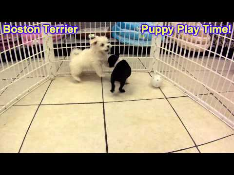 Boston Terrier, Puppies, For, Sale, In,Omaha ,Nebraska, NE,Lincoln, Bellevue, Grand Island