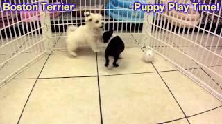 Boston Terrier, Puppies, For, Sale, In,omaha ,nebraska, Ne,lincoln, Bellevue, Grand Island