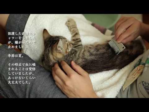 保護した子猫にノミがいた場合の参考 保護猫2日目