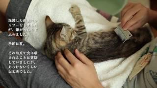 保護した子猫にノミがいた場合の参考 【保護猫2日目】