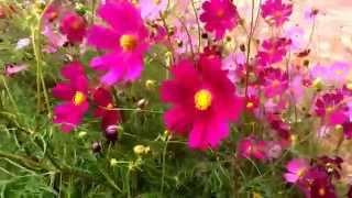 【秋桜】風にそよぐコスモス