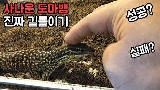 사나운 도마뱀 길들이기❤️ 성공?실패? 파충류 키우기 …